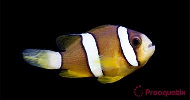 Clarki Clownfish