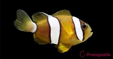 Pearl-Eye Clarki Clownfish