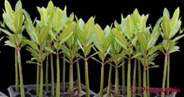 Red Mangrove Propagule