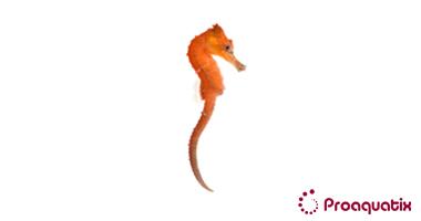 Red Kuda Seahorse