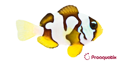 Picasso Clarkii (Amphiprion clarkii)