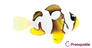 Premium Picasso Clarkii (Amphiprion clarkii)